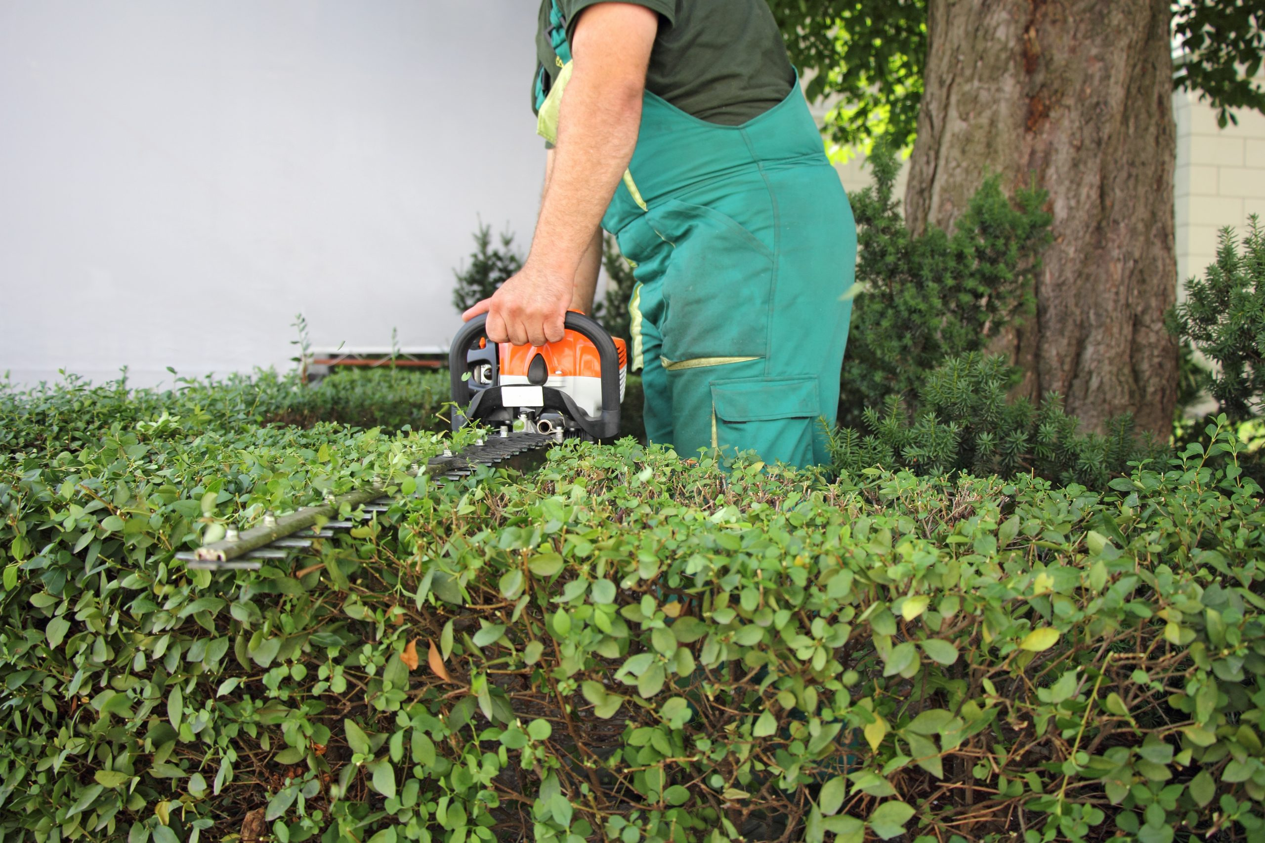 shrub and hedge trimming service quincy ma